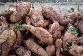 batatas-doce-272x182